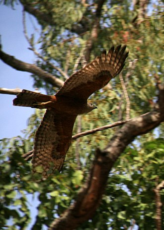 Red goshawk - Red goshawk, Cape York Peninsula, Queensland