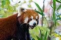 Red Panda (26773709109).jpg