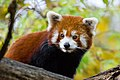 Red Panda (37661656175).jpg
