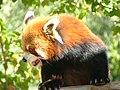 Red Panda Simon 02.jpg