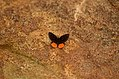 Red Pierrot Talicada nyseus Kolli hills JEG3291 .jpg