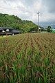 Red Rice Paddy field in Japan 008.jpg