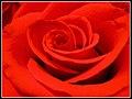 Red Rose - panoramio.jpg