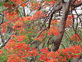 Redflowers full tree.JPG