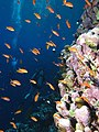 Reef scene with coralline algae (and fish, diver and other stuff) (6159016384).jpg