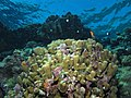 Reef scene with coralline algae (and fish and other stuff) - looking up (6159018540).jpg