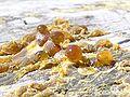 Resin from Pinus Radiata Stump.JPG