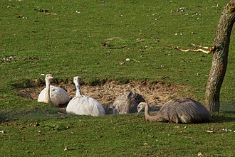 Rhea (bird) - Greater rheas (Rhea americana) dustbathing.  The two individuals on the left are leucistic.
