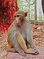 Rhesus macaque Red Monkey 1617785429430-01.jpg