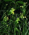 Rhinanthus minor 01.jpg
