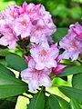 Rhododendron catawbiense 01.JPG