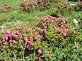 Rhododendron ferrugineum Pyrenees2.jpg