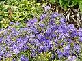 Rhododendron polycladum - University of Copenhagen Botanical Garden - DSC07555.JPG