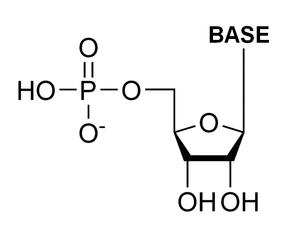 Ribonucleotide - General Ribonucleotide Structure: phosphate group, Ribose, Nucleobase.