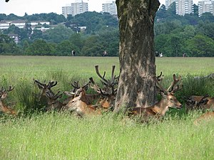 deer in richmond park, london