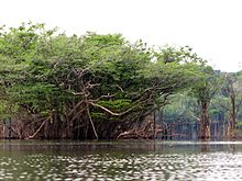 Rio Urubu Trees - Flickr - treegrow.jpg