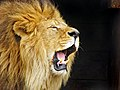 Roaring Lion Travis Jervey.jpg