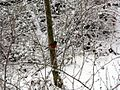 Robin-Bird-Snow-Trees ForestWander.jpg