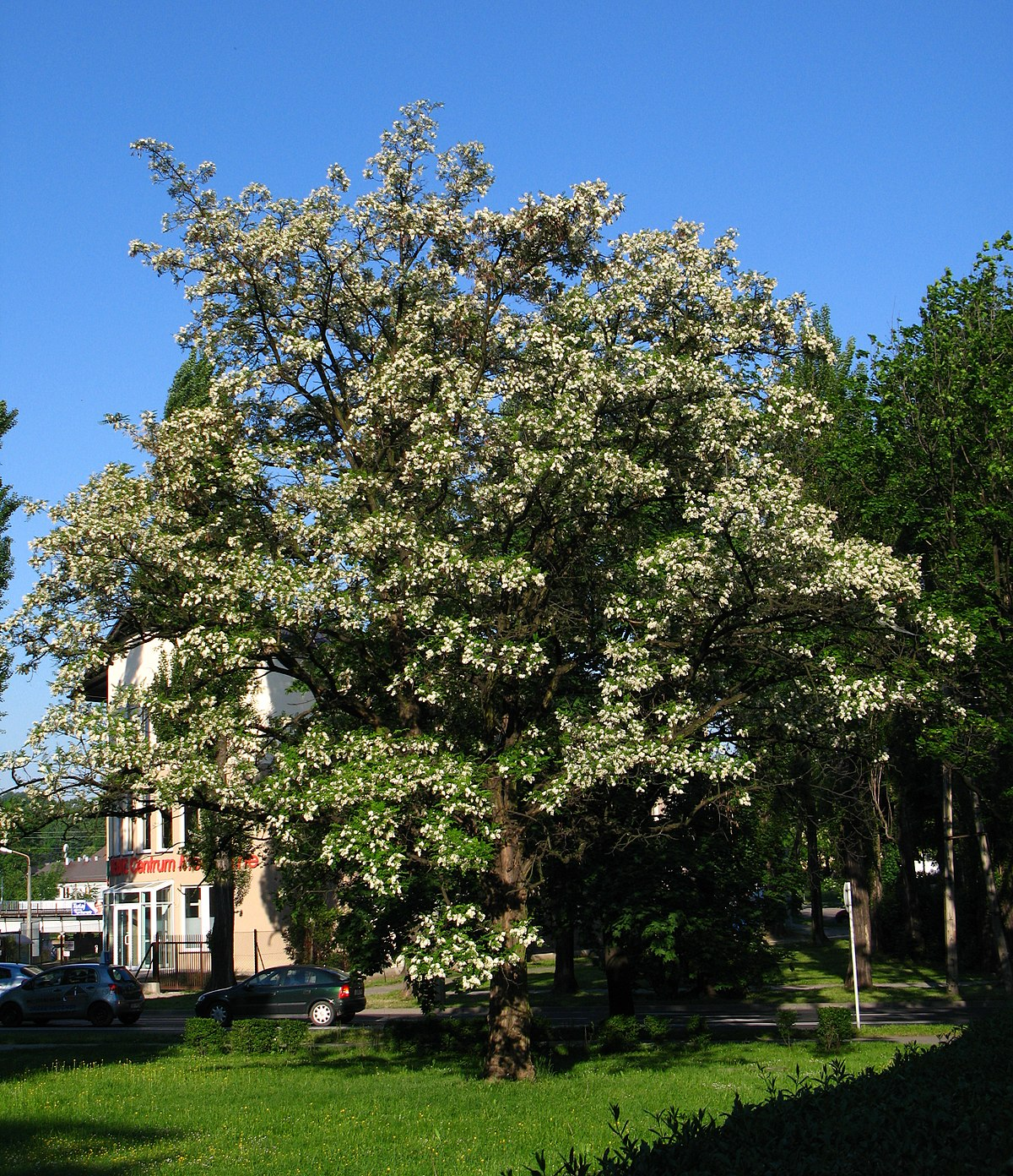 Piante Siepe Crescita Rapida robinia pseudoacacia - wikipedia