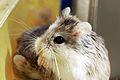 Roborovski Hamster eating.jpg