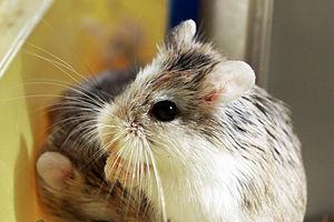 Cricetidae - Roborovski's dwarf hamster (Phodopus roborovskii) of the Cricetinae