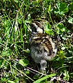 Rock-Ptarmigan-Chick-Norway.jpg