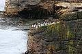 Rockhopper,Falklands (3157322940) (2).jpg