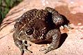 Rocky Mtn Toad.jpg