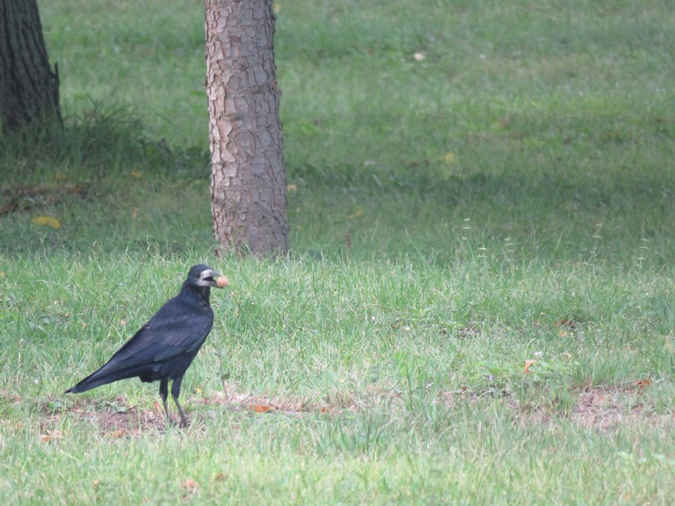 Rook in the grass 08