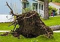 Root ball after May 2018 derecho, Walden, NY.jpg