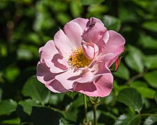 Rosa 'Jacky's Favorite' (d.j.b) 01.jpg