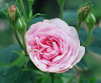 Rosa × alba - Cultivar 'Königin von Dänemark' is a pink-flowered Alba rose.