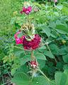 Rosa 'Prolifera de Redouté'.jpg