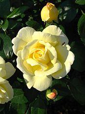 Rosa 'Sunstar' 03.jpg