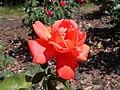 Rosa Lady Rose 2018-07-10 5409.jpg