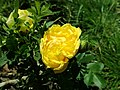 Rosa Persian Yellow 2019-06-03 4455.jpg