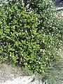Rosa stylosa subsp. nevadensis Habitus 2300m SierraNevada.jpg