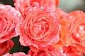 Rosas y Garuas.jpg