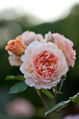 Rose, Charles Austin - Flickr - nekonomania.jpg