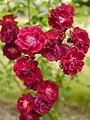 Rose, Rosa Polyantha Rouge, バラ, ロサ ポリアンサ ルージュ, (12870489335).jpg