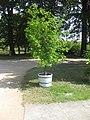 Rosengarten Forst, Garten der Düfte, Citrus-Pflanze am Nordwestzugang, Sommer, 05.jpg