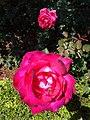 Roses in Garden - Museo Casa Natal de Morelos - Morelia - Michoacan - Mexico (20308564898).jpg