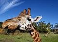 Rothschild Giraffe Orana Wildlife Park. (9567697328).jpg