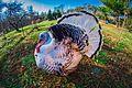 Royal Palm Turkey.jpg