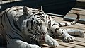 Royal White Bengal Tiger cleaning self at Cougar Mountain Zoological Park 1.jpg