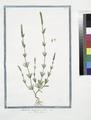 Rubeola angustiore folio - Petite Garance (NYPL b14444147-1125042).tiff