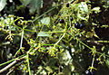Rubia Cordifolia 11.JPG