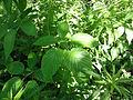 Rubus allegheniensis SCA-03200.jpg