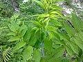 Rubus niveus 01.jpg