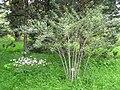 Rubus thibetanus - Berlin Botanical Garden - IMG 8659.JPG